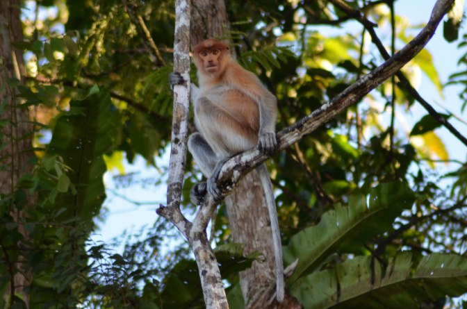 Wander Pi Wednesdays: Borneo's Proboscis Monkeys